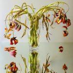 Fotografie verblühtes Blumenstillleben rote Tulpen in Glasvase auf Spiegel
