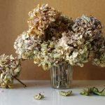 Fotografie verblühtes Blumenstillleben großer Hortensienstrauß