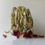 Photography, conceptual art, still life, withering flowers, tulips
